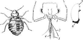 Отряд Вши: Известно более 150 видов вшей