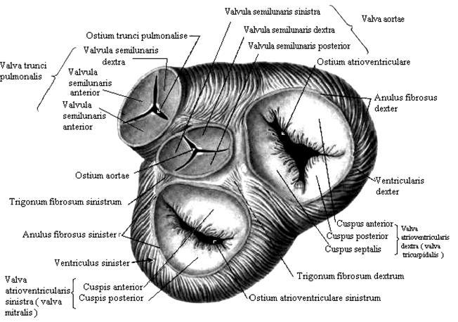 Митральный и трехстворчатый предсердно-желудочковые клапаны